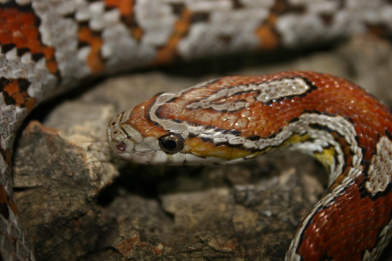 comment prendre un python royal